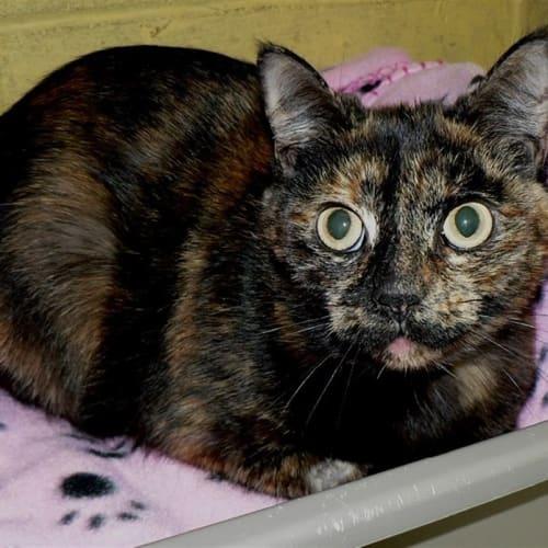 Jemima Puddleduck - Domestic Short Hair Cat