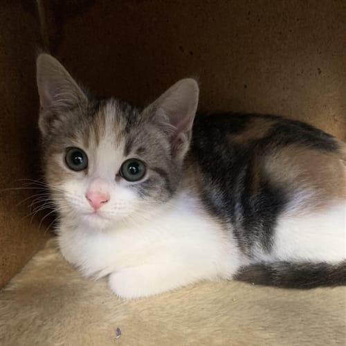 Sophie - Domestic Short Hair Cat