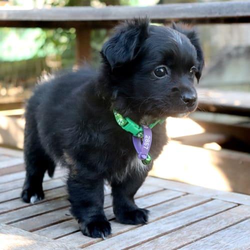 Harris - Cavalier King Charles Spaniel x Chihuahua Dog