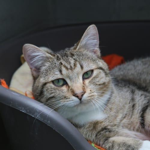 Heath - Domestic Short Hair Cat
