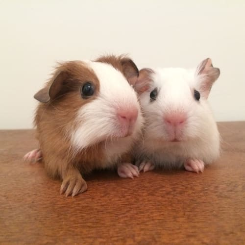 Oatly & Peanut  - Smooth Hair Guinea Pig