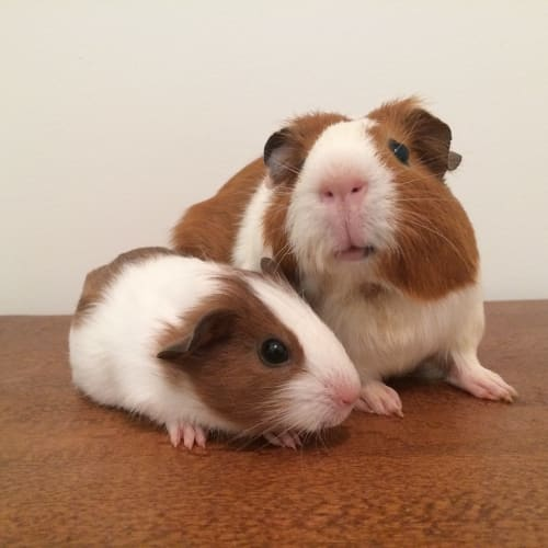 Pancakes and Waffles - Smooth Hair Guinea Pig