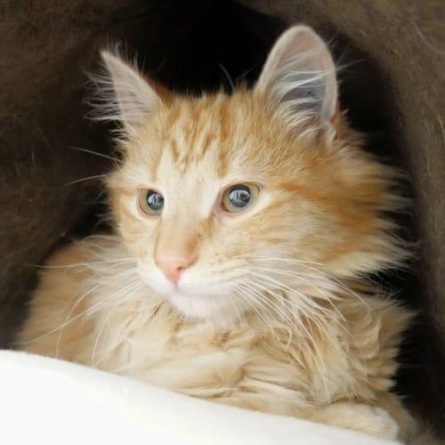 Simba SUK004273 - Domestic Medium Hair Cat