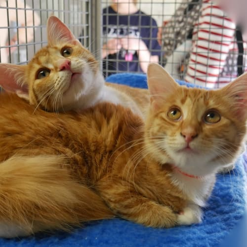 Venus & Serena - Domestic Medium Hair Cat
