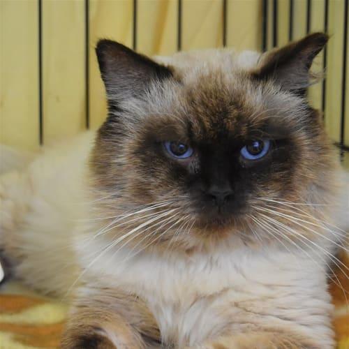 Zachy - Birman Cat