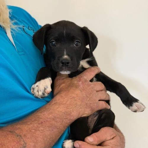 Linus - Border Collie Dog