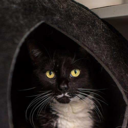 Cecil - Domestic Short Hair Cat