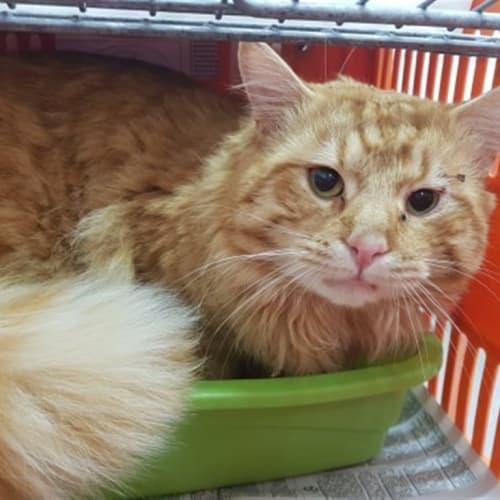 Leon - Domestic Medium Hair Cat