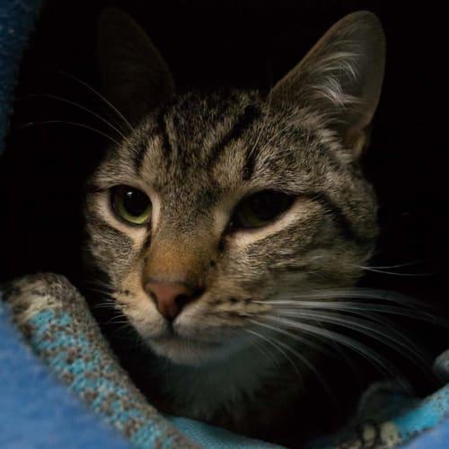 Bonsai - Domestic Short Hair Cat