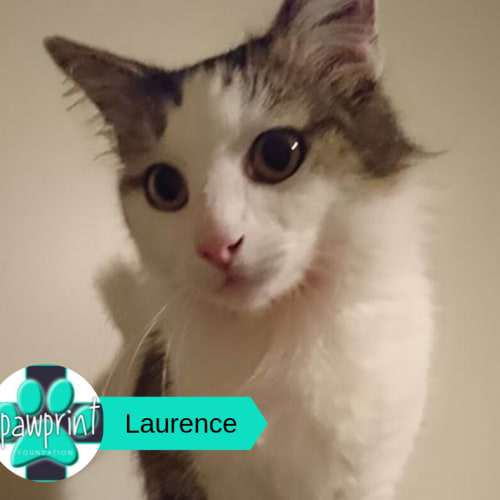 Laurence - Domestic Medium Hair Cat