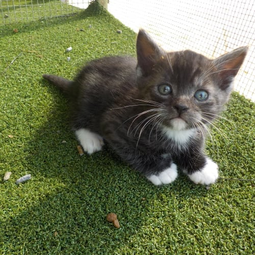 Otta - Domestic Short Hair Cat