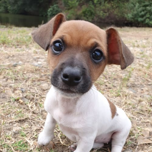 Naomi - Dachshund Dog