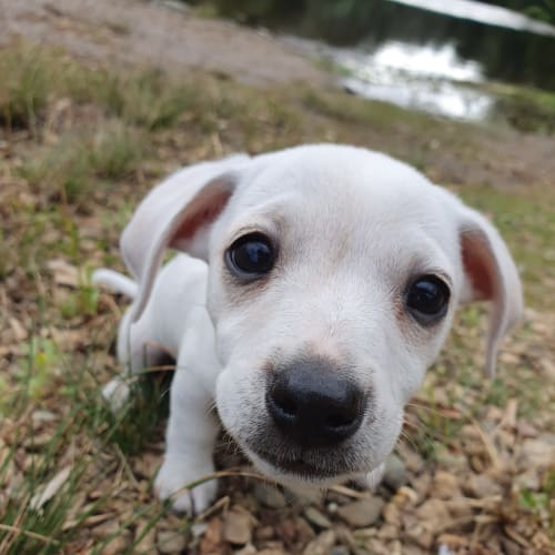 Charlie - Dachshund Dog