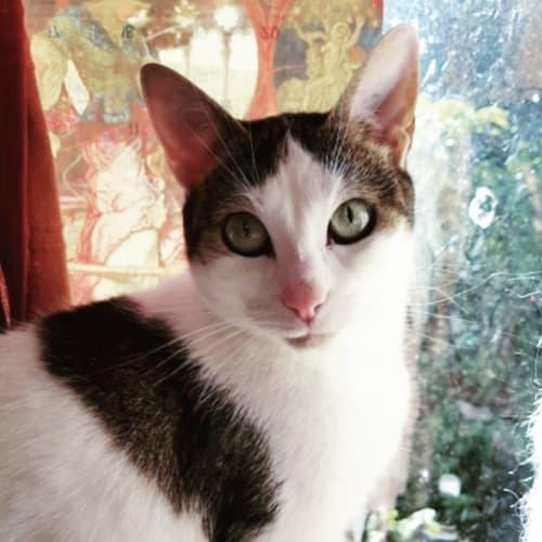Elf of the Fae - Domestic Short Hair Cat