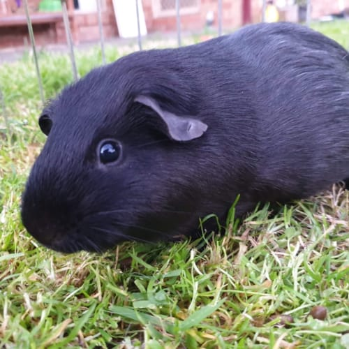 Pudding  - Smooth Hair Guinea Pig