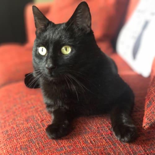 Ghost -  Meet me in Cat Lounge/Neko HQ Preston - Domestic Short Hair Cat