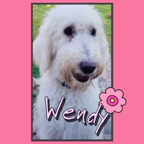 Wendy - Poodle Dog