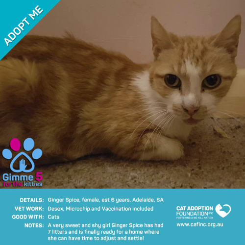 Ginger Spice - Domestic Short Hair Cat