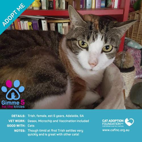 Trish - Domestic Short Hair Cat