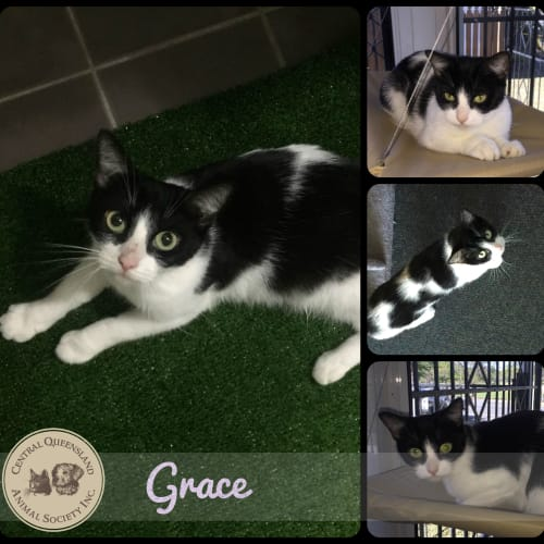 Grace  - Domestic Short Hair Cat