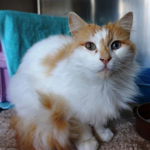 Emmerson - Domestic Medium Hair Cat