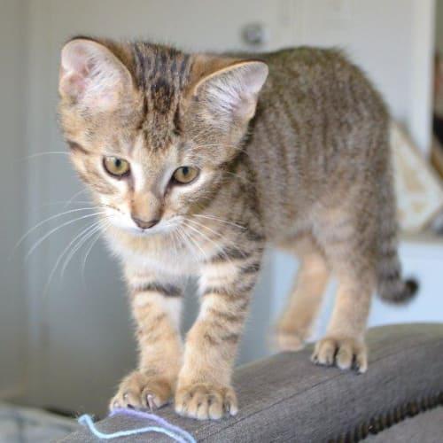 Chicago - Domestic Short Hair Cat