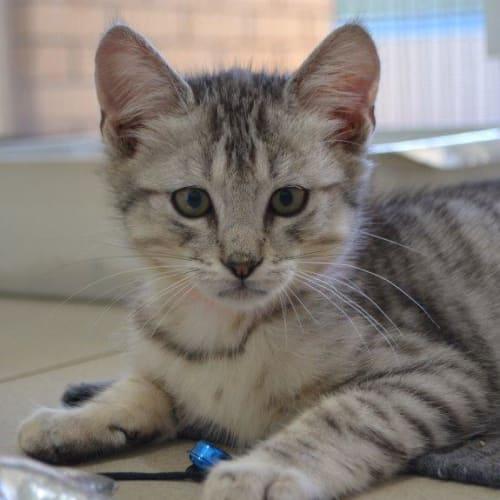Hamilton - Domestic Short Hair Cat