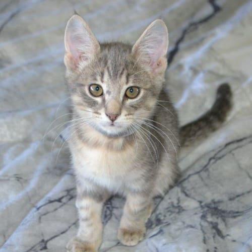 Rome - Domestic Short Hair Cat