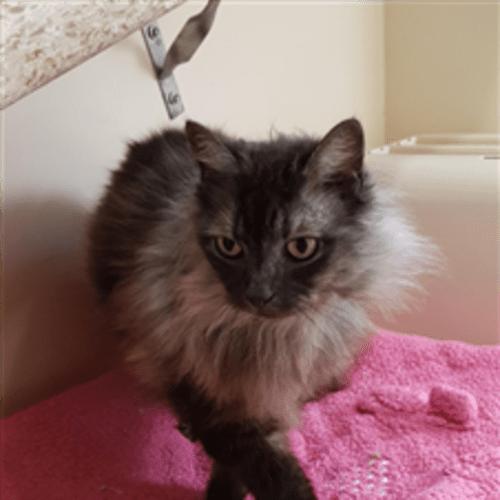 Libby - Domestic Medium Hair Cat