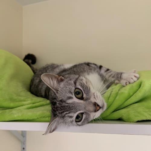 Fleur - Domestic Short Hair Cat