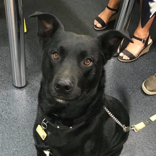 Beau  - Kelpie x Labrador Retriever Dog