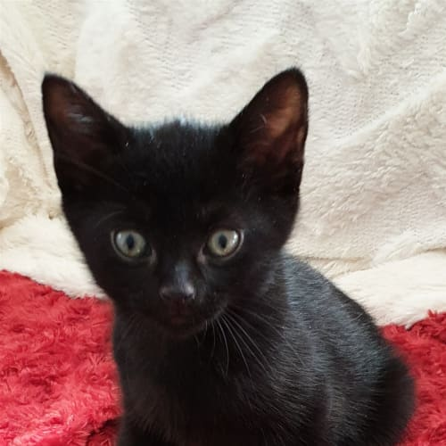 Alaric - Domestic Short Hair Cat