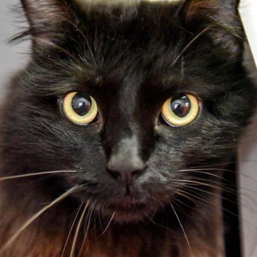 Vinnie - Ragdoll Cat