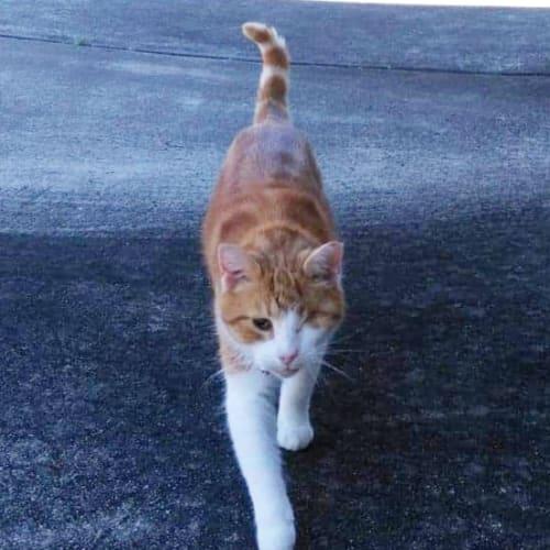 Celia - Domestic Short Hair Cat