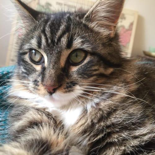 Catalina - Domestic Medium Hair Cat