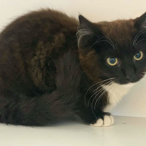 Tashi - Domestic Medium Hair Cat