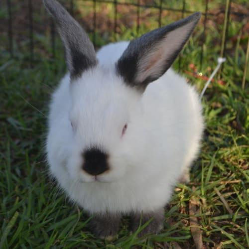 Khan - Dwarf lop Rabbit