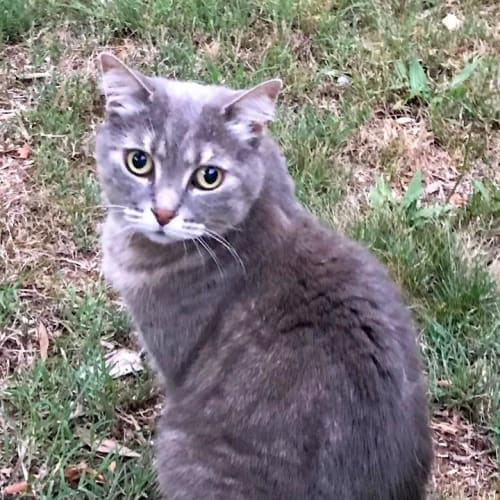 Stella (also known as Bella) - Domestic Short Hair Cat