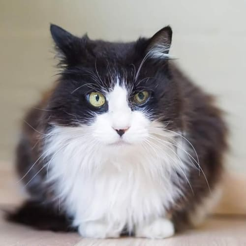 1433 - Sarabi - Domestic Medium Hair Cat