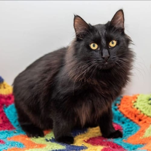 1354 - Daryl - Domestic Medium Hair Cat