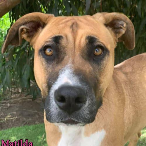 Matilda - Bull Arab Dog