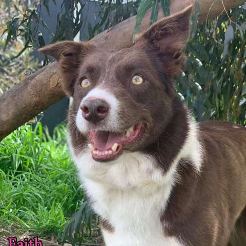 Faith - Border Collie Dog