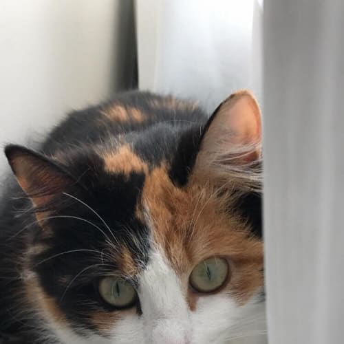 Heidi - Domestic Medium Hair Cat