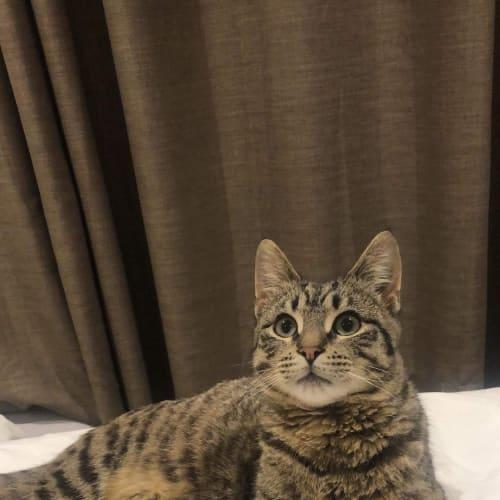 Kitty - Domestic Short Hair Cat