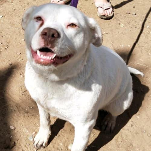 Pepper - American Staffordshire Bull Terrier x American Bulldog