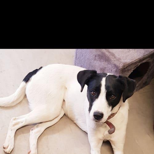Lyric - Border Collie Dog