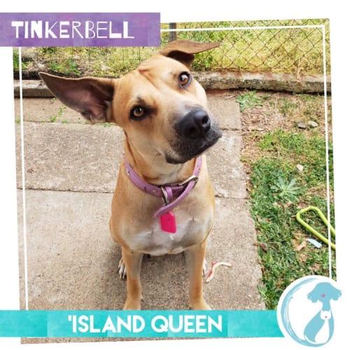 Tinkerbell - Kelpie Dog