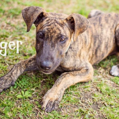 Jagger - Great Dane Dog