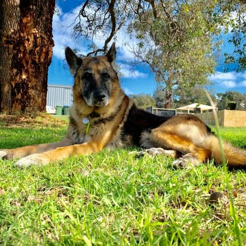 Tucker - German Shepherd Dog