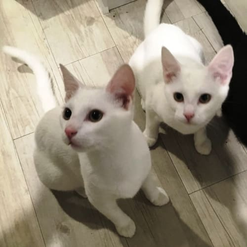 Casper and Ziggy - Domestic Short Hair Cat